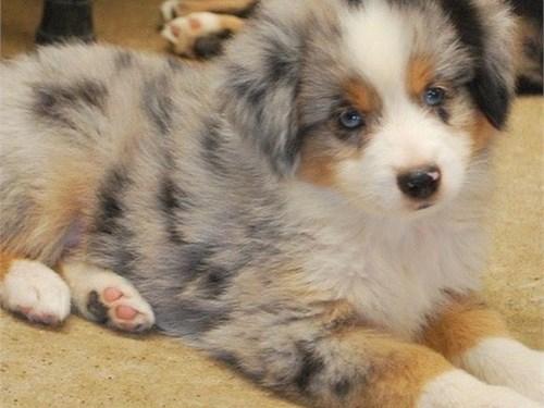 Cute Aussie Pups