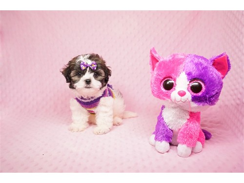 Perfect Shih Tzu Pups