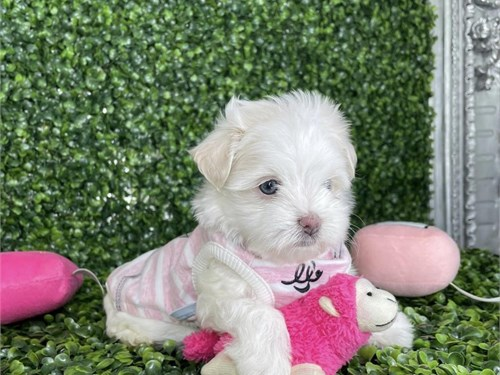 Healthy Maltese Puppy
