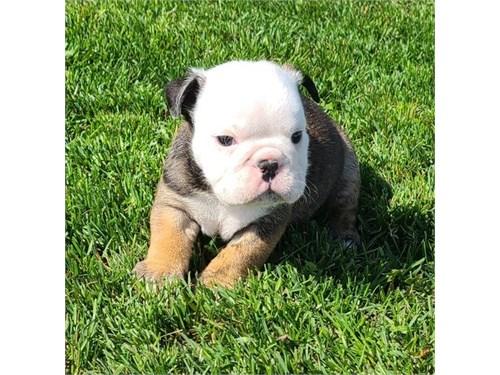 Roky English Bulldog pups