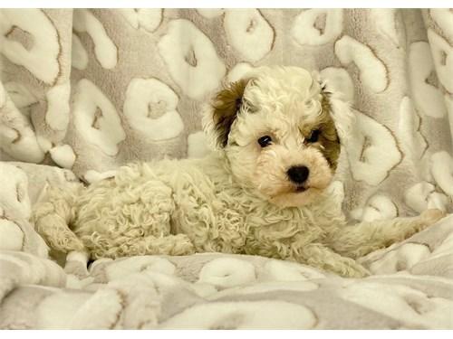 Tri Color Maltipoo Puppy