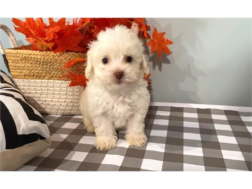 White maltipoo male