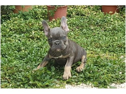 Lovable French bulldog