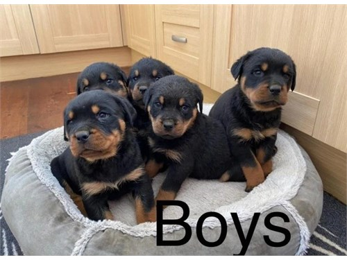 Adorable Rottweilers
