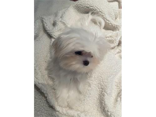 Tiny boy Maltese