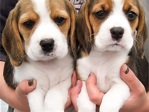 Beagl'es puppies for sale