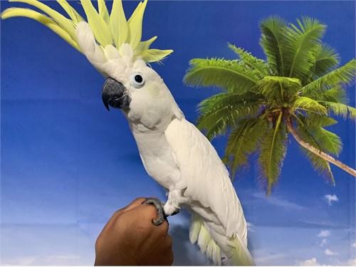 Hand-Tame Triton Cockatoo
