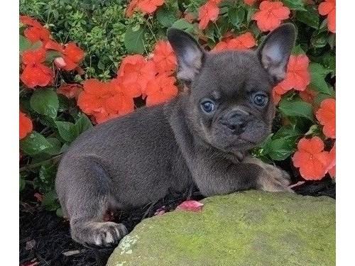 cheerful French bulldog