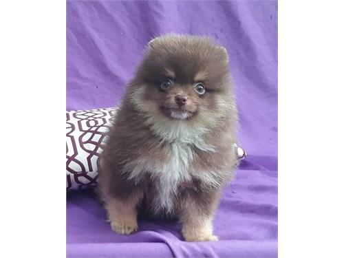 Nice brown pom pup