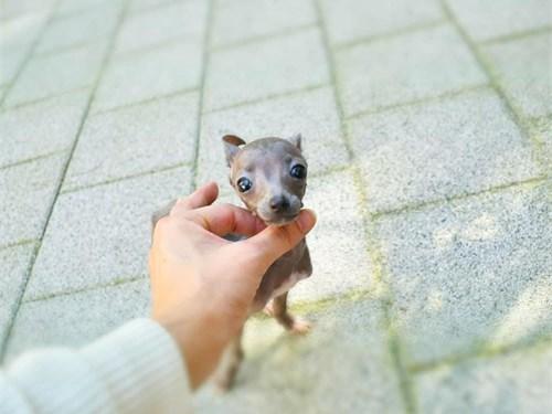 Mini Italian Greyhounds