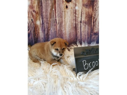 Jojo Shiba Inu pups ready