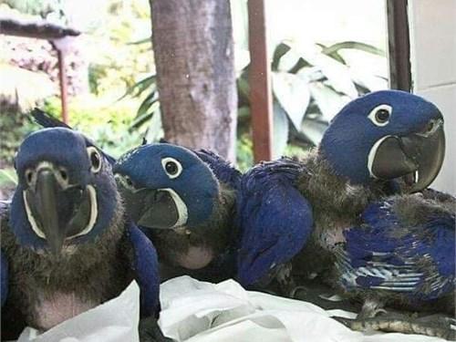 Lovely Face parrots