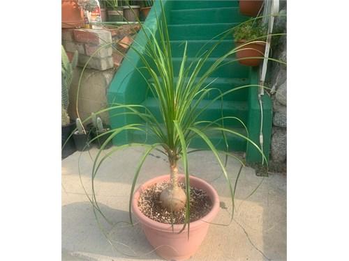 Elephant Foot Palm
