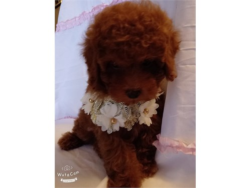 AKC toy Red Poodle Puppy