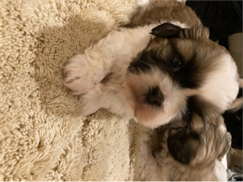 Akc registered Shihtzu