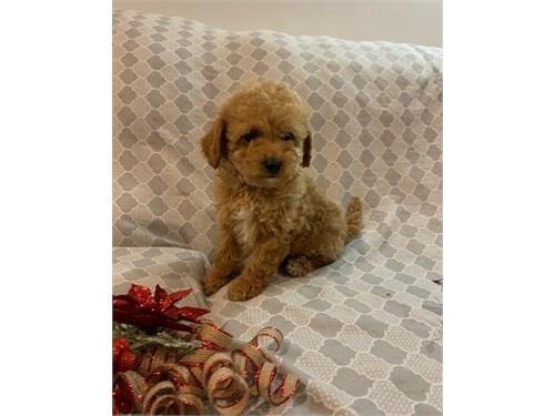 Beautiful poodle