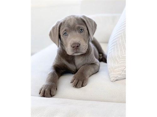 Lovely labrador puppies