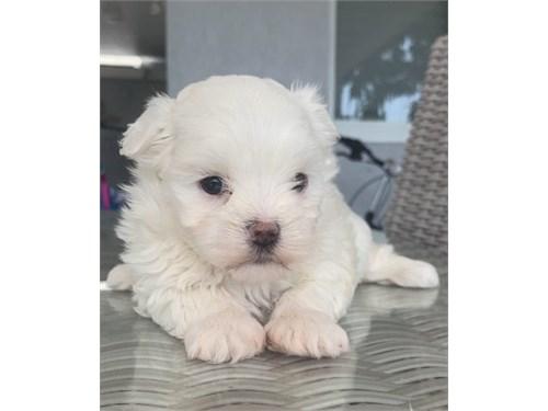 charitable Maltese puppie