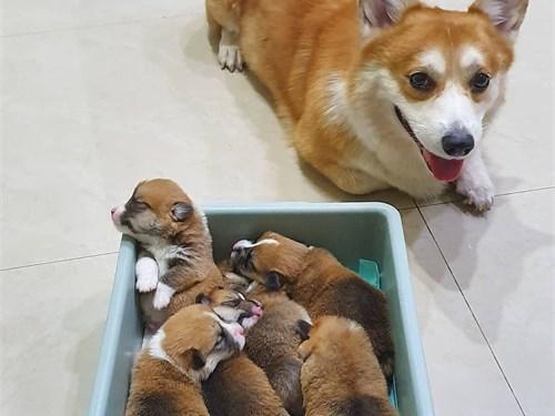 Lovely corgi pups