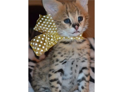 Reg Savannah Kitties
