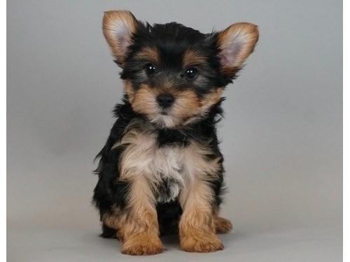 breathtaking Yorkie pup