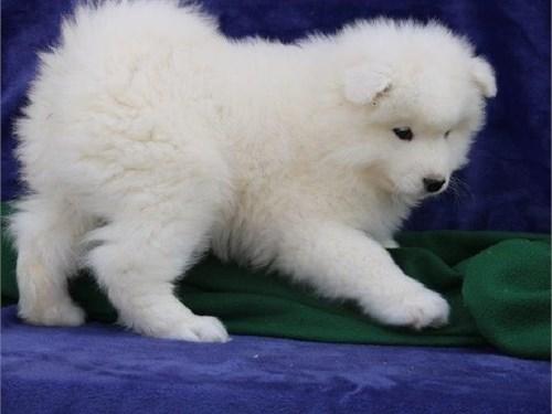 lovely samoyed puppies