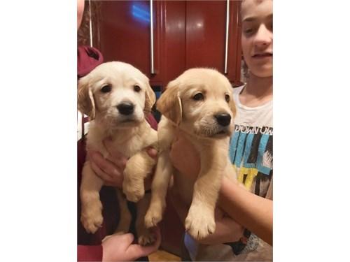Goldenn Retrver Pupps