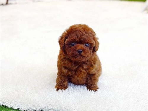 AKC Toy Poo+dle puppies