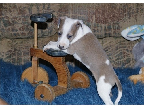 Italian Greyhound Pups