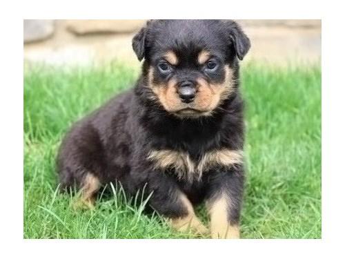 BEAUTIFUL Rottweiler pup