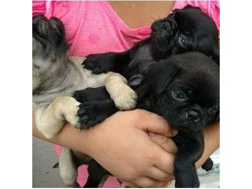 Pugs Puppies Available