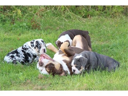 tEng.lish bull.dog Pups