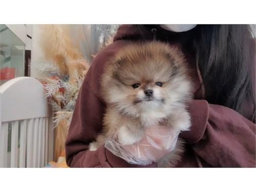Pomeranian Teacup Sable