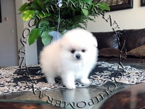 AKC Ice White Male Pom