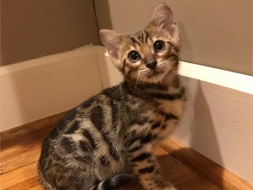 Bengal kittens l