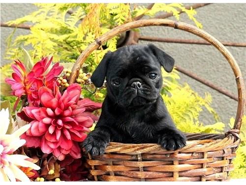 Akc reg Available  Pug