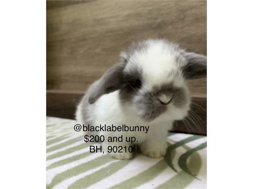 Holland Lop Babes 5/27