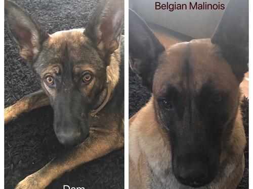 Malinois X Puppies