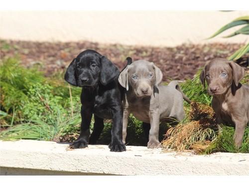 Weimaraner & Labrador