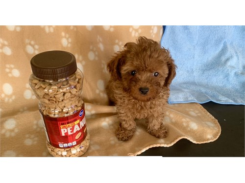 T CUP MALTIPOO FOR SALE