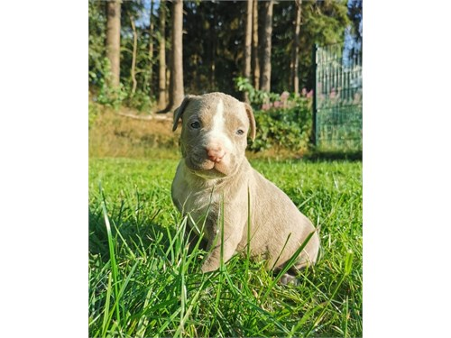k/ame.rican pit.bull pups