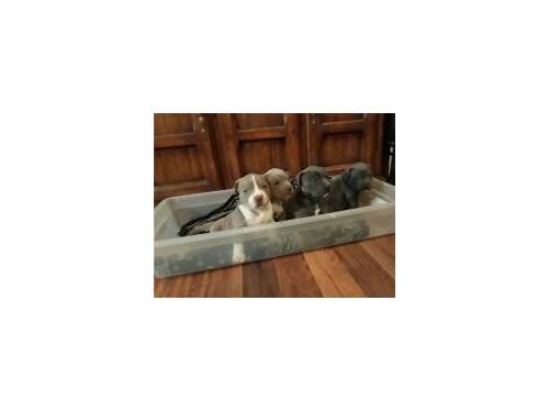 Pitbull terrier puppies