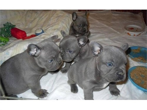 Fantastic Blue Frenchies