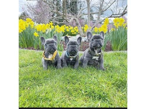 Rodrick French bulldogs