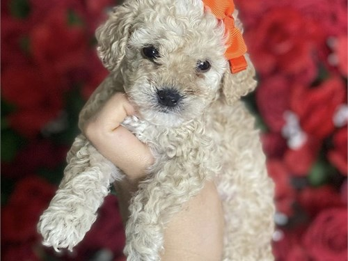 Maltipoo puppies availabl