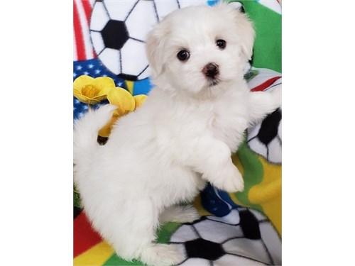 Maltese puppies up for ad