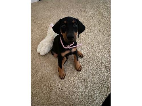 Doberman Puppy AKC