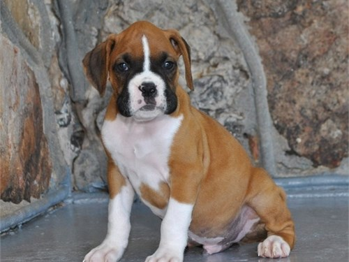 3  Boxer Puppies For Sale