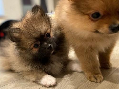 Tiny Pomeranian 1Boy1Girl