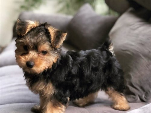 Adorable little yorkie
